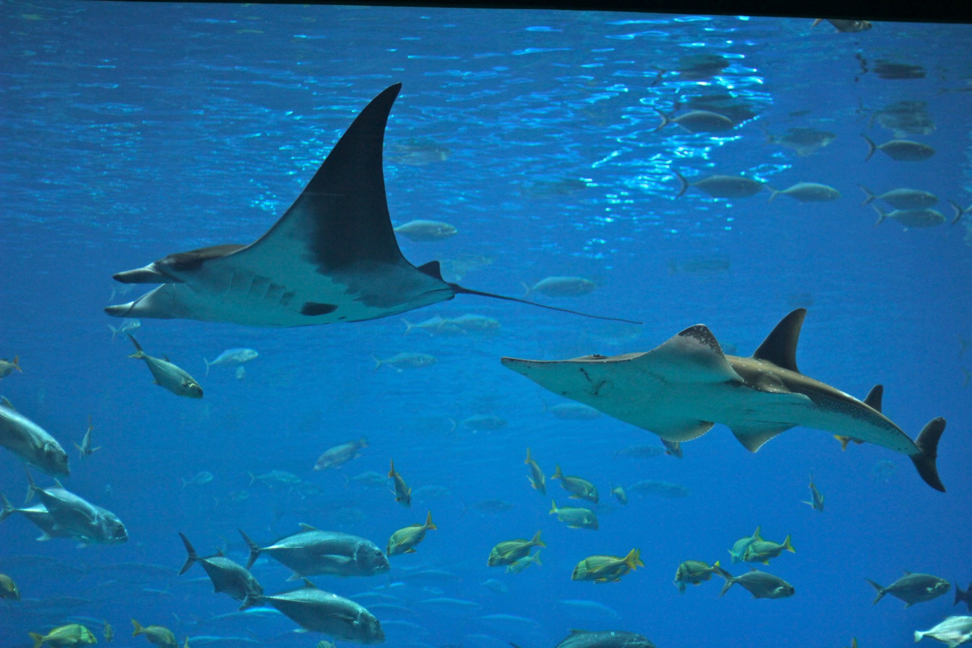 Manta Ray Aquarium